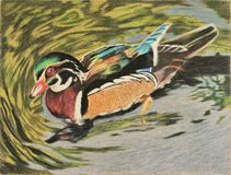 Painting of wood duck in water Royalty Free Stock Photos