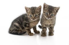 Pair of abandon kittens. Dirty and hungry. These kittens are from one of the many stray cats that are in Europe, isolated on a white background, footnote these Royalty Free Stock Image