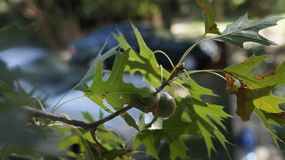 Pair of acorns on a green branch. A pair of acorns on a branch with green leaves Royalty Free Stock Photos