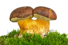 Pair of adnate boletus mushrooms Royalty Free Stock Photography