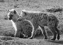 A pair of Adolescent Hyenas on the plains in Africa Royalty Free Stock Images