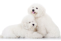 Pair of adorable bichon frise puppy dogs. Lying together on white background Royalty Free Stock Photography