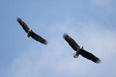 Pair of Adult Bald Eagles (haliaeetus leucocephalus) Royalty Free Stock Photo