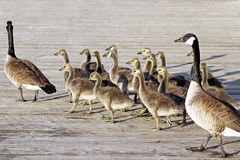 Pair of Adult Canada Geese lead their young goslings across the Boardwalk Stock Photos