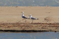 A pair of adult Caspian Gulls, Larus cachinnans. A pair of adult Caspian Gulls, Larus cachinnans, at the Black Sea coast, Romania. The birds show their stock photography