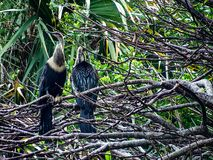A pair of adult femaile Anhingas roosting above a tropical swamp stock images