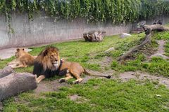 Pair of adult Lion animals in zoological garden Stock Image