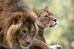 Pair of adult Lions in zoological garden. Closeup headshot of a Pair of adult Lions in zoological garden Royalty Free Stock Images