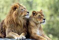 Pair of adult Lions in zoological garden. Closeup headshot of a Pair of adult Lions in zoological garden Stock Photo
