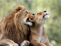 Pair of adult Lions in zoological garden. Closeup headshot of a Pair of adult Lions in zoological garden Stock Image