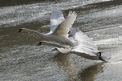 Pair of adult mute swans Cygnus Olor starting their flight from water line of river Vah, Slovakia Stock Image