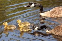 Canada Goose Defend Goslings Royalty Free Stock Photos