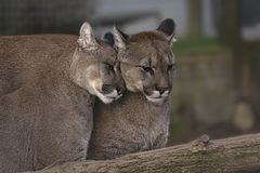 Pair of Affectionate Puma royalty free stock image