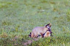 Pair of African Bat Eared Foxes Stock Photo
