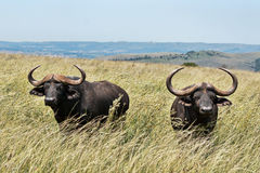 Pair of african buffalo Royalty Free Stock Image