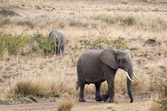 Pair of African bush elephant (Loxodonta africana) , Kenya Stock Images