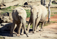 Pair of African bush elephants Stock Photos