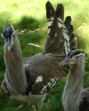 A Pair of African Bustards Royalty Free Stock Photography