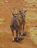 Pair of African Elands. A pair of African Elands at monarto zoo stock photo