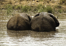 Two African Elephants. Pair of African Elephants standing together in a muddy river Stock Photo