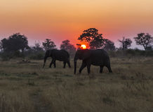 A pair of African elephants silhouetted against the setting sun in Botswana. Two African elephants walk across the savannah in the Okavango Delta, northern Royalty Free Stock Photography