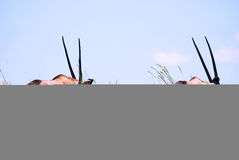 Pair of African gemsbok Royalty Free Stock Images