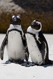 Pair of African (Jackass) Penguins. (Sphensiscus demersus) sunning themselves together at Boulders Beach, South Africa Stock Photos