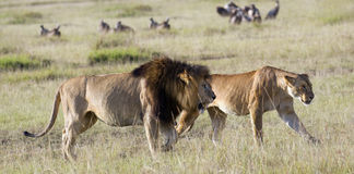 Pair of African lions. Mature pride leader lion with full developed mane and lioness  (Panthera Leo) walking in short grass  in front of vultures, Masai Mara Royalty Free Stock Image