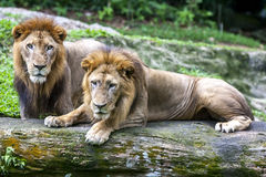 A pair of African lions relax at the Singapore Zoo in Singapore. Stock Photography