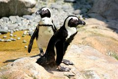 African Nile penguins Royalty Free Stock Images
