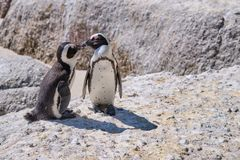 African Penguin colony royalty free stock photography