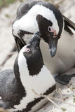 Pair of African penguines Royalty Free Stock Image