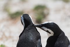 A pair of african penguins close together, Boulder Beach, Africa royalty free stock images