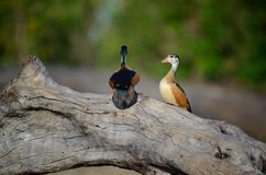 A Pair of African Pygmie Geese Perching on the Chobe River, Botswana Stock Photos