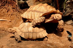 Pair of African Spurred Tortoises Stock Photography