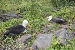 Pair of albatrosses Royalty Free Stock Photo
