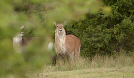 A pair of alert Roan Antelope Royalty Free Stock Photography