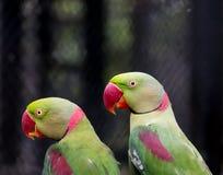 Pair of Alexandrine parakeet close up Stock Image