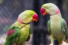 Pair of Alexandrine parakeet close up Royalty Free Stock Photography