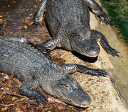 Pair of alligators Royalty Free Stock Photography