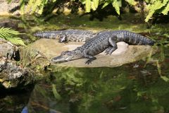 A Pair of Alligators royalty free stock images