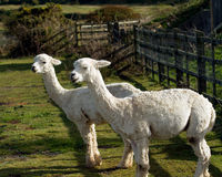 A pair of Alpacas in a field. Two Alpacas in a field. An alpaca resembles a small llama in appearance and their wool is used for making knitted and woven items Stock Photography