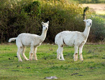A pair of Alpacas in a field. Two Alpacas in a field. An alpaca resembles a small llama in appearance and their wool is used for making knitted and woven items Stock Image