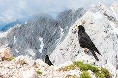 Pair of alpine choughs Stock Photography