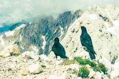 Pair of alpine choughs Stock Image