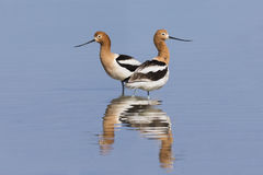 Pair of American Avocets and reflection in a shallow lake - Nevada Royalty Free Stock Photos