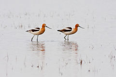 Pair of American Avocets Royalty Free Stock Image