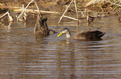 Pair of American Black Ducks Stock Image