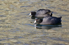 Pair of  American Coots Swimming Across the Water Royalty Free Stock Image