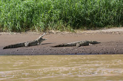 Pair of American Crocodiles sunning Stock Photos